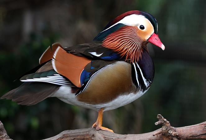 Красивая утка-мандаринка