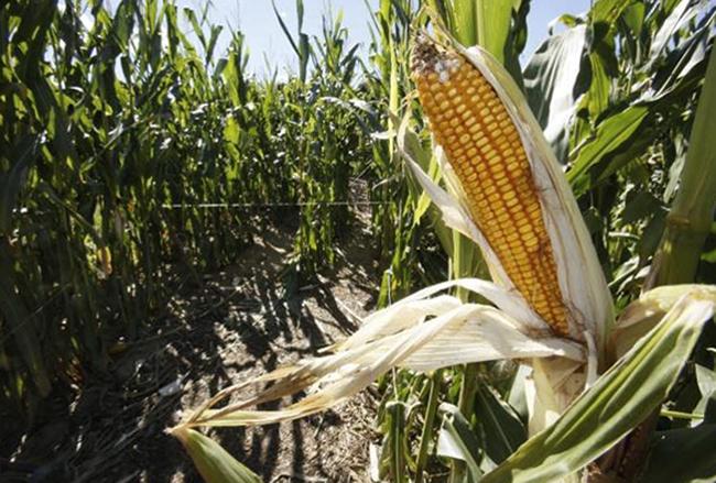 Кукуруза растет