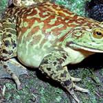 Лягушка-бык — интересные факты о животном