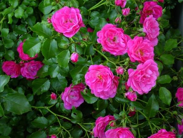 Шиповник цветет
