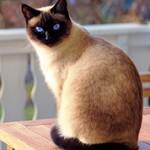 Самые интересные факты о сиамских кошках