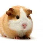 Интересные и удивительные факты о морских свинках