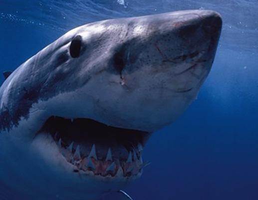 Зубы белой акулы
