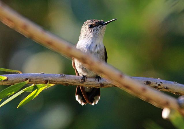 Вымпелохвостый колибри