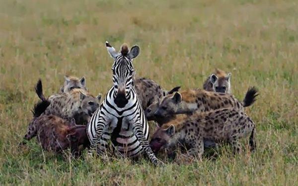 Гиены на охоте