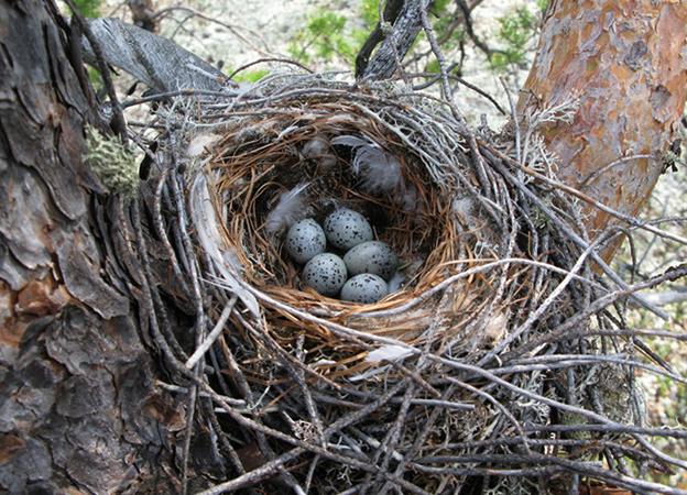 Гнездо свиристелей