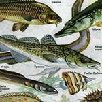 Интересные факты о костных рыбах