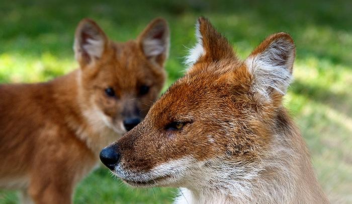 Красивые красные волки