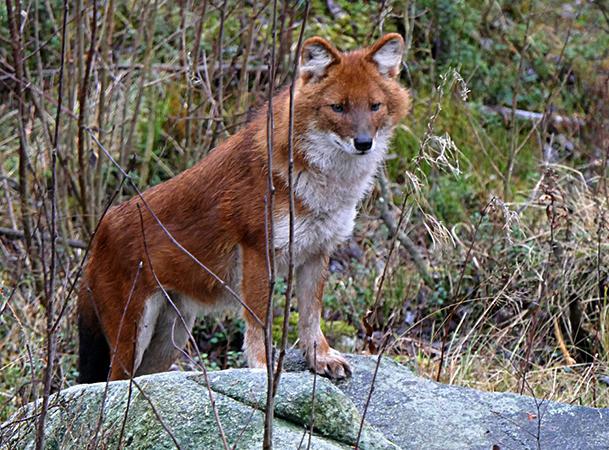 Красивый красный волк
