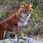 Интересные факты о красном волке