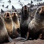 Интересные факты о ластоногих млекопитающих