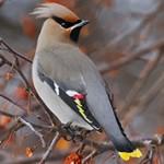 Свиристель — интересные факты о птице
