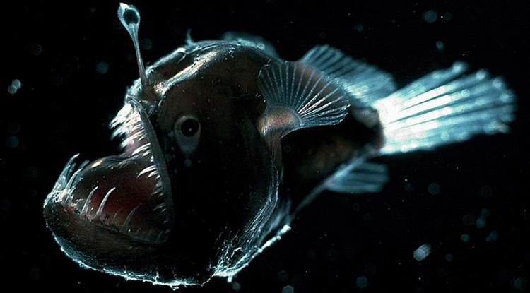 Страшная рыба удильщик