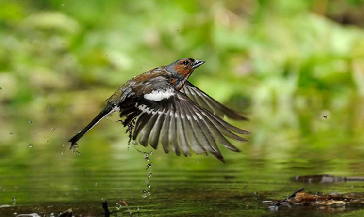 Зяблик летит