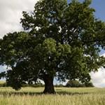 Интересные факты о дереве дуб