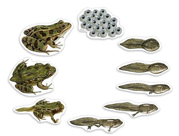 Жизненный цикл лягушки